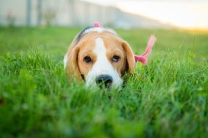 image of Beagle puppy